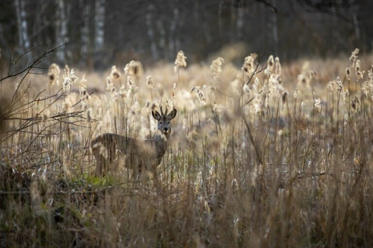 european roe deer, capreolus capreolus, forest